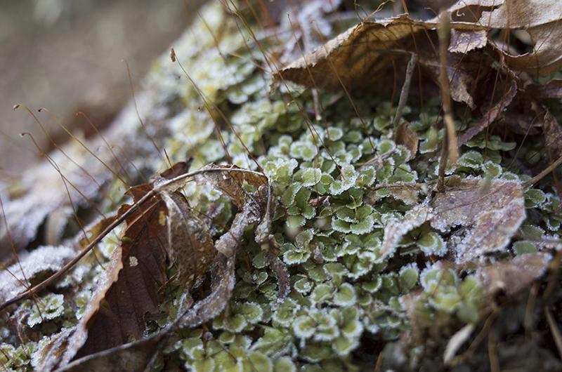 箱根ハイキング2015:霜と落ち葉
